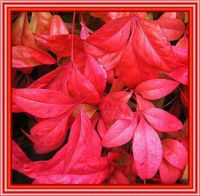 Red Nandina leaves.
