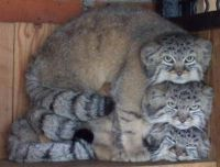 A stack of Pallas cats.