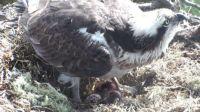 Mum Osprey with three eggs