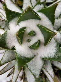 Cactus in de sneeuw - 20210207