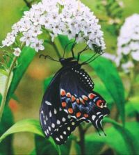 Blackswallowtail Butterfly & Gooseneck Loosestrife