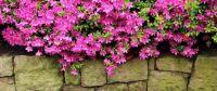 Blooming-azaleas-