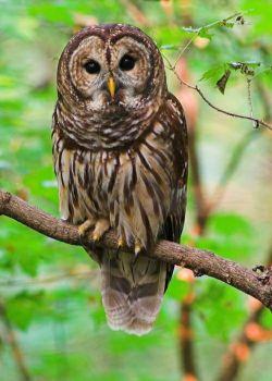 Original photo of a barred owl