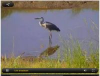 great blue heron in pond