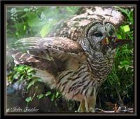 Barred Owl by John Gunther 2
