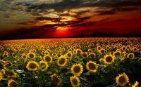 amazing-sky-and-sunflower-wallpaper