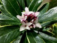 Wonderfully fragrant Daphne odora