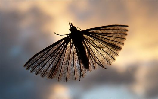 Feather Moth