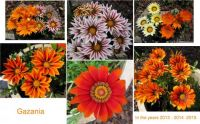 Collage of my Gazanias