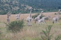Giraffes at Pilanesberg National Park S/A