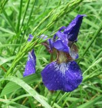 Iris with raindrops