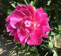 Pink Paeony