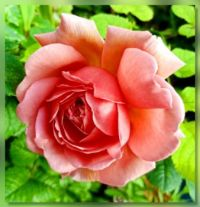 Most beautiful Rose...