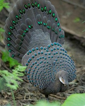 Grey Peacock Pheasant
