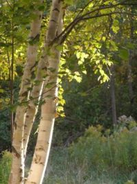 Mich. birch