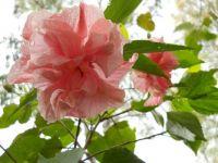Hibiscus plants in my mother's garden