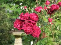 'William Shakespeare' Rose