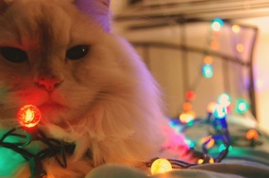 Cats find Christmas lighting to be flattering.