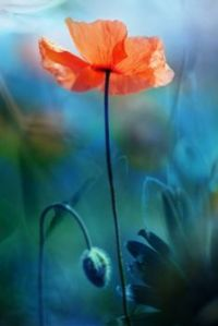 Poppy - image by Pierrette Roc