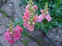 Butterfly antirrhinums, pinks.