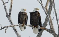 Bald Eagles perched along river in upstate NY