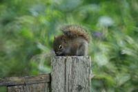 Georgestown squirrel 3