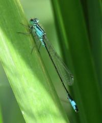 scarce blue-tailed damselfly (tengere grasjuffer)
