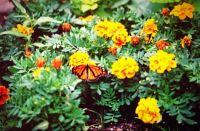 A Monarch Butterfly pollinating the Zinnias