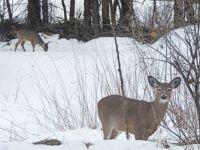 Deer in the barnyard