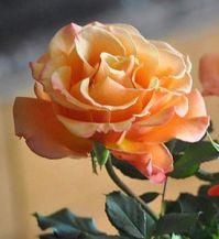 peaches-and-cream rose