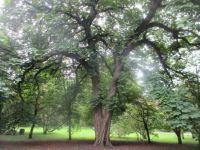 kastangnetræ