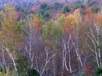 Birches in October