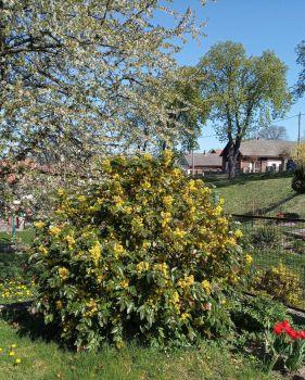 Kvetoucí mahonie