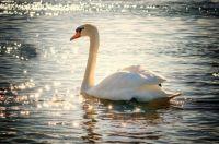 swan-2077219_1920