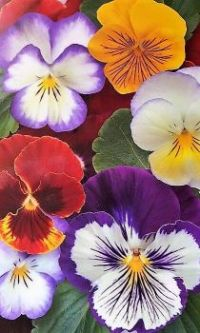 Pleasant Pansies #18