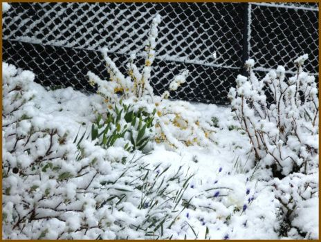 Snow on the flowers, April 6.