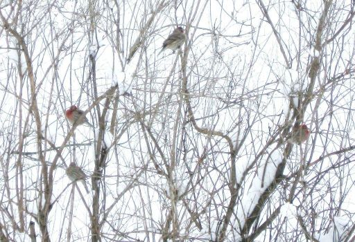 Purple finch conclave after a hearty lunch