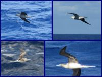 Wedge-tailed Shearwaters off Willis Island.