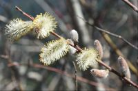 Pussy willow in flower