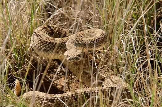 Western Diamondback Rattlesnake!  (My first encounter.)