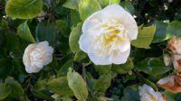 York roses.