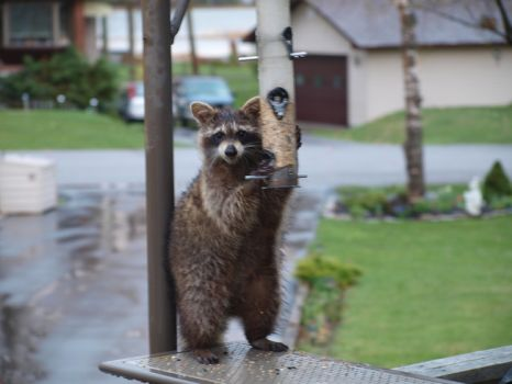 Raccoon at the bird feeder