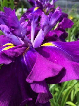 saturated with iris--more challenging