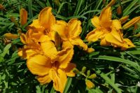 Cluster of Daylilies