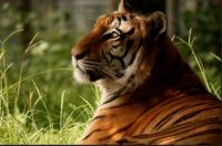 THEME FOREST ANIMALS:- Tiger