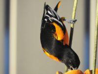 Baltimore Oriole at Feeding Station, South Carolina