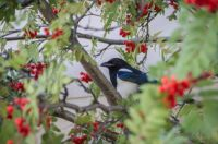 Magpie feasting on mountain ash berries