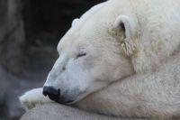 Polar Bear - Cleveland Zoo
