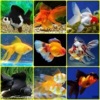 Goldfish Collage