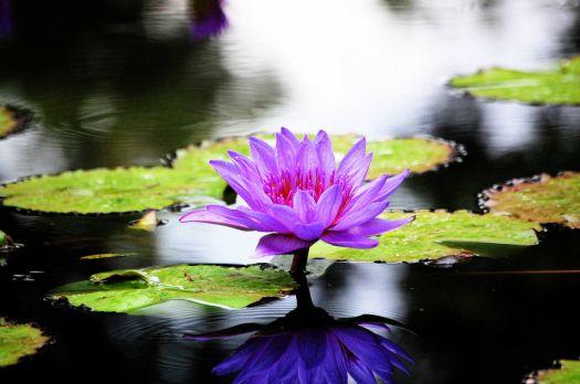 Purple Lilly